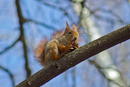 poner atencion: The squirrel in parks of Moscow feels freely and does not pay attention to the people passing on avenues, continuing the meal. Foto de archivo