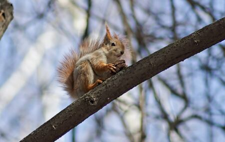 avenues: The squirrel in parks of Moscow feels freely and does not pay attention to the people passing on avenues, continuing the meal. Stock Photo