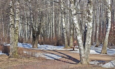 The avenue in a birchwood in a sunny day is filled with light and a smell of the concealing snow. Biryulyovo arboretum of the city of Moscow (Russia).