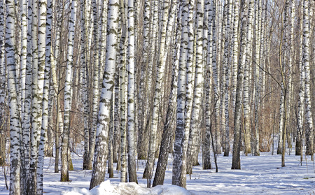 thawed: The birch wood in snow is lit with the sun. Stock Photo