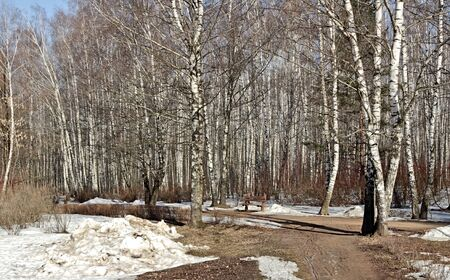 Spring day in a birchwood of one of parks of the city of Moscow.