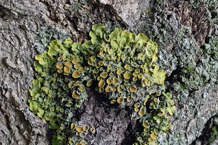 symbiosis: Lichens are organisms-indicators to determine the environmental conditions, particularly air quality. Based on the biology of lichens is the phenomenon of symbiosis - the living together of different organisms (fungi and water blacker).