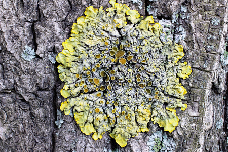 fungi: Lichens are organisms-indicators to determine the environmental conditions, particularly air quality. Based on the biology of lichens is the phenomenon of symbiosis - the living together of different organisms (fungi and water blacker).