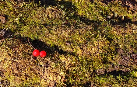 Red berries of viburnum lie on the green bed of moss