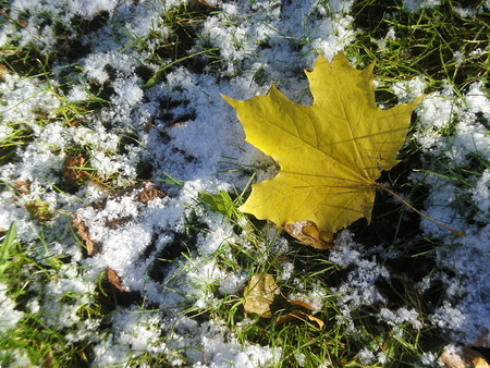 Yellow maple leaf lies on the green grass, sprinkled with snow.