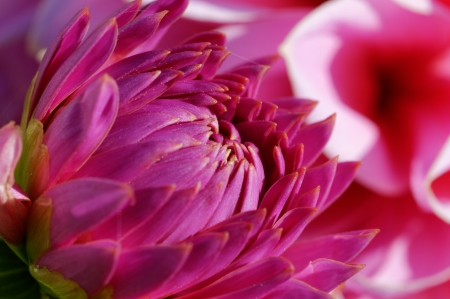 late summer: Dahlias in late summer