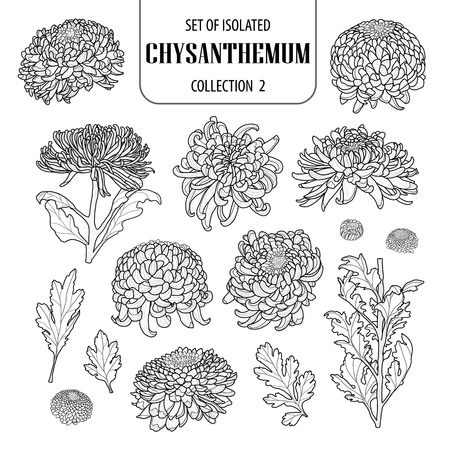 Set of isolated chrysanthemum collection 2. Cute flower illustration in hand drawn style.