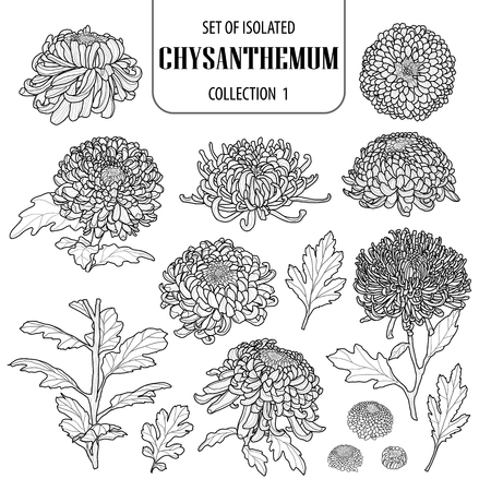 Set of isolated chrysanthemum collection 1. Cute flower illustration in hand drawn style.