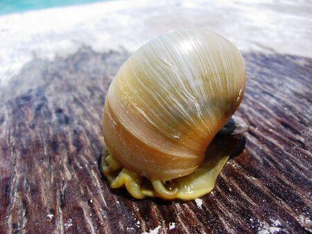 Lake snail, Bacarlar Lagoon 版權商用圖片