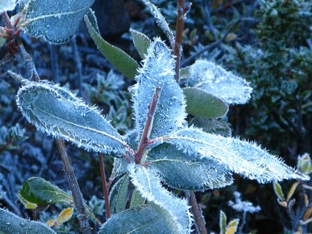 Frosted winter leaves, Patagonia, Argentina