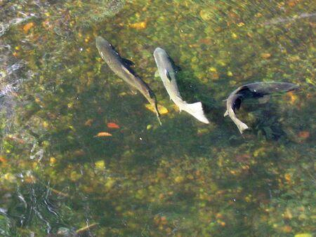 spawning: Salm�n Foto de archivo