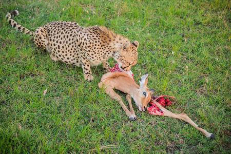 maasai mara: Small cheetah eating a caught impala in the Maasai Mara national park (Kenya)