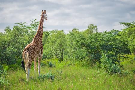 nakuru: Giraffe in the Nakuru national park (Kenya) Stock Photo