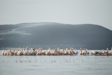 observed: Big group of flamingos and pelicans observed on the water of the Nakuru lake (Kenya)
