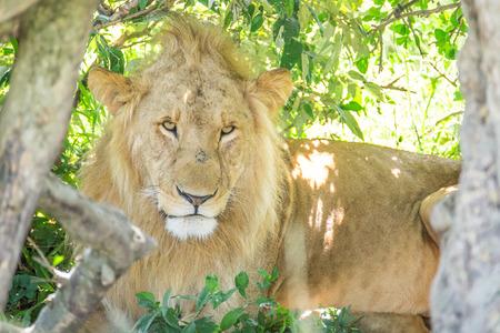 maasai mara: Sleepy male lion resting in the bushes in the Maasai Mara national park (Kenya)