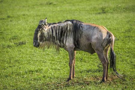 maasai mara: Wildbeest in the Maasai Mara national park (Kenya) Stock Photo