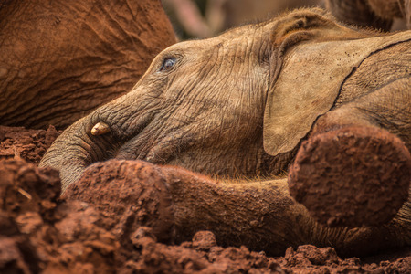 david brown: One of the many young orphant elephants playing in the mud in Sheldrick Elephant Orphanage in Nairobi (Kenya) Stock Photo