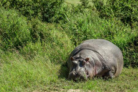maasai mara: Hippo resting in the grass in the Maasai Mara national park (Kenya)
