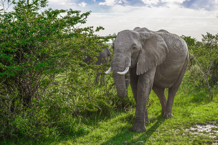 maasai mara: Big African elephant walking through the bushes in the Maasai Mara national park (Kenya)