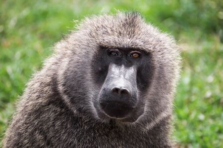 differently: Front close-up view of a baboon with differently colored eyes in the Maasai Mara national park (Kenya)