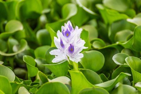 naivasha: Flora of the Naivasha lake (Kenya)