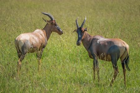 maasai mara: Two hartebeest (antelopes) in the Maasai Mara national park (Kenya) Stock Photo