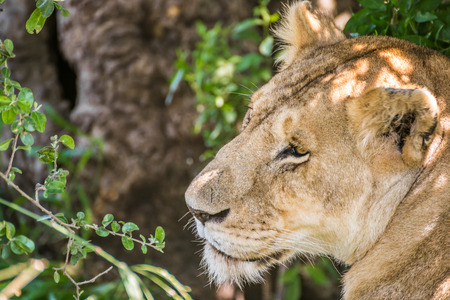 maasai mara: Sleepy lioness resting in the bushes in the Maasai Mara national park (Kenya)