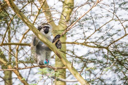 genitali: Giovane scimmia cercopiteco su un albero che dimostra i suoi genitali colorati nel parco nazionale di Nakuru (Kenya) Archivio Fotografico