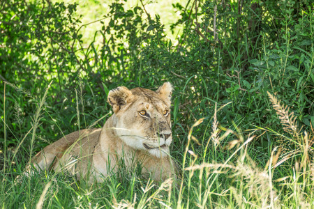 maasai mara: Lioness resting in the bushes in the Maasai Mara national park with lots of flies covering it (Kenya)