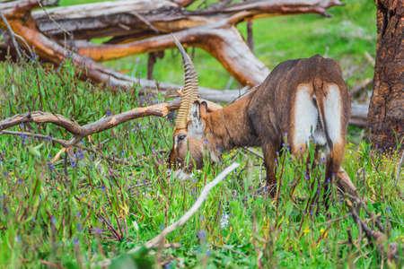 naivasha: Antelope grazing on a shore of the Naivasha lake (Kenya)