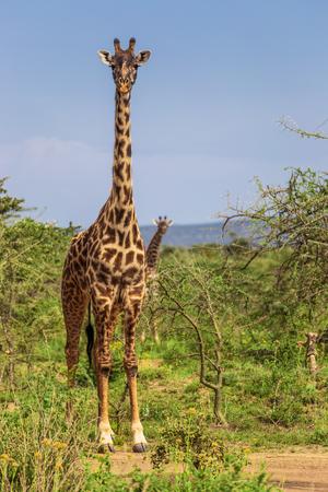 maasai mara: Giraffe in the Maasai Mara national park (Kenya)
