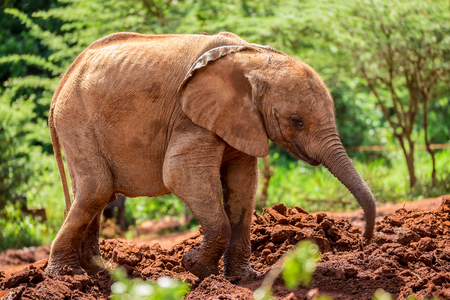david brown: One of the many young orphant elephants in Sheldrick Elephant Orphanage in Nairobi (Kenya)