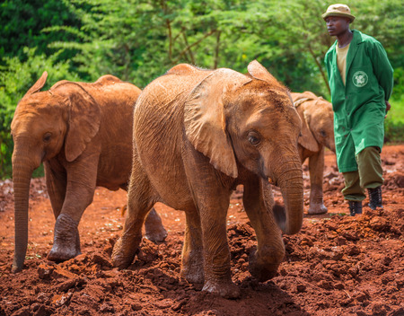 orphanage: NAIROBI, KENYA - JUNE 22, 2015: Sheldrick Elephant Orphanage in Nairobi (Kenya) - one of the workers observing young orphant elephants playing in the mud Editorial