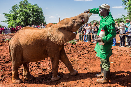 david brown: NAIROBI, KENYA - JUNE 22, 2015: Sheldrick Elephant Orphanage in Nairobi (Kenya) - one of the workers feeding a young orphant elephant with milk