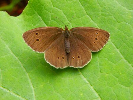 ringlet: Ringlet Butterfly (Aphantopus hyperantus) on a Butternut squash leaf