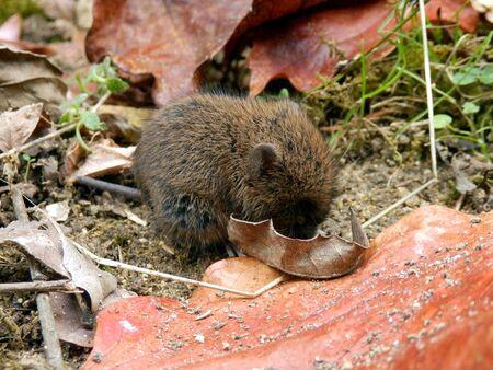 vole: Baby aardmuis Microtus agrestis gevonden onder een stapel van bladeren