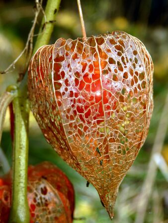 alkekengi: Close up of a dried Physalis alkekengi aka Bladder Cherry or Chinese Lantern, showing a skeletal body with the cherry fruit visible inside