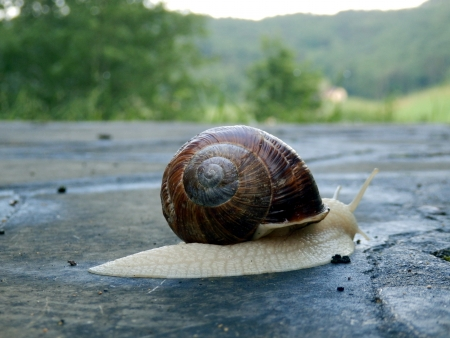 slithering: Roman snail slithering along a terrace, countryside in the background