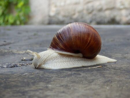 Roman snail slithering along a terrace, countryside in the background Stock Photo - 16898713