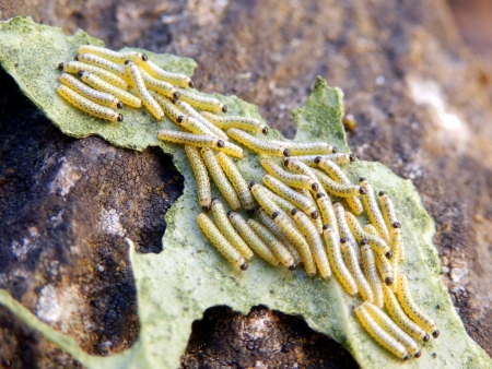 Newly hatched caterpillars of the Cabbage White Butterfly aka Pieris brassicae photo