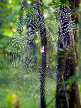 Morning sun reflecting off a European Garden Spider  Araneus deadbeats  in the centre of its web, set against a forest background  Stock Photo - 16927519