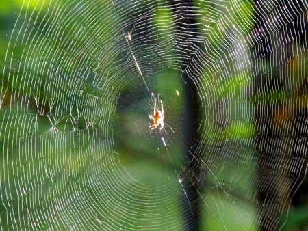 Morning sun reflecting off a European Garden Spider  Araneus deadbeats  in the centre of its web, set against a forest background  photo