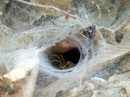 Close up of a European Funnel Web spider waiting at the entrance of the dew covered funnel web photo