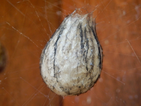 sac: Close up of the egg sac of the Wasp Spider, one of the largest egg sacs made by spiders