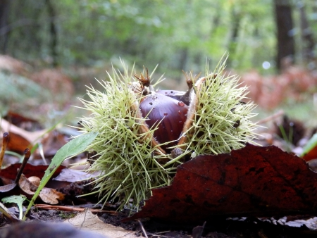 saliva: Sweet chestnut  Castanea saliva , bursting open on a woodland path