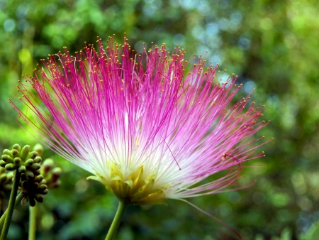 Fabaceae: Flower of the Persian Silk Tree or Mimosa  Albizia julibrissin  Stock Photo