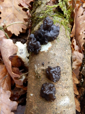 rubbery: Black Witch s Butter Fungus aka Exidia glandulosa, on a dead branch