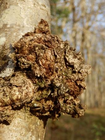 菌カワウソタケ属斜、チャガきのこ、珍しい菌としても知られているし、悪魔の顔を描いた薬効珍重のクローズ アップ