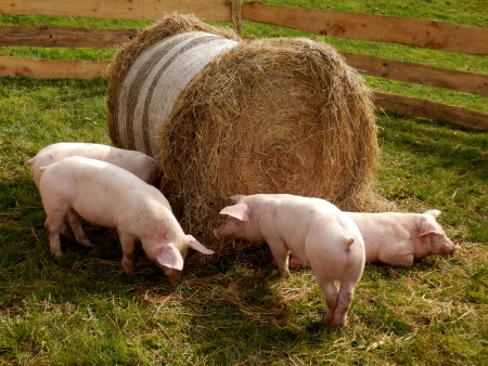 Piglets feeding from a large hay bale