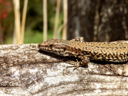 Common Lizard basking on a log photo